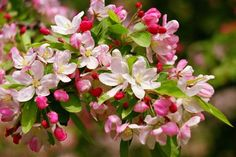 The annual Shenandoah Apple Blossom Festival in Winchester, Virginia is a celebration of spring featuring over 45 events and festive attractions. Edible Flowers, Floral Flowers, Spring Flowers, Apple Blossom Festival, Smoke Tree, Japan Garden, Rose Care, Nature Collection, Cherry Blossom