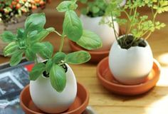 Starting seedlings in eggshells--be sure to wash the shells well first.
