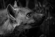 05Mike Palmer - Hyena 060616 Visit SA: http://www.savisas.com/south-africa-visa/