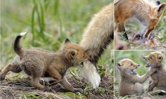 Photographer Igor Shpilenok captured the heartwarming scene in Kronotsky Nature Reserve in Kamchatka - a remote peninsula in the far east of Russia.