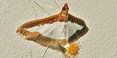Mariposa com rabinho de pompom. Que bicho é esse?