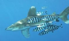 Carcharhinus longimanus (Oceanic White-tip Shark) with Naucrates ductor (Pilot-fish) Relationships, Shark Conservation, Fish Feed, Save Wildlife, Fish Swimming, Marine Biology, Ap Biology, Whales, Sharks