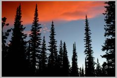 CLIFF CFEGO   Subalpine Fir & Engelman Spruce subalpine silhouette . . .