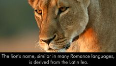 #AfricanLions #Leo #LionsFacts #AnimalsKnowledge