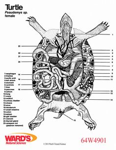 turtle anatomy diagram learn theparts of the reptiles or. Black Bedroom Furniture Sets. Home Design Ideas