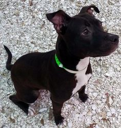 Meet Melinda, a Petfinder adoptable Pit Bull Terrier Dog | Largo, FL | Ready for some adolescent canine antics? Then you must meet Melinda. Volunteers have fun with this...