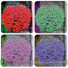 Rare híbrido mezclado rojo verde rosa púrpura de lino de vegetales puros colgante Bonsai Flowewr semillas, Pack profesional, 50 semillas / paquete, hermosa(China (Mainland))