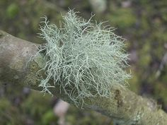 How to Make Usnea Tincture for Respiratory Support - The Lost Herbs Herbal Remedies, Natural Remedies, Organic Gardening, Gardening Tips, Moss Plant, Wild Edibles, How To Make Tea, Green Trees, Tea Tree Oil