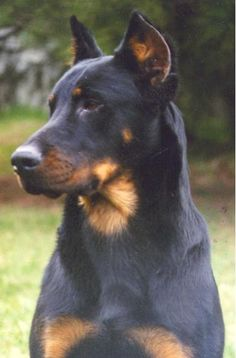 Very very similar to my baby girl. This is a breed called Beauceron she was a German Shepherd Husky Rottweiler mix . She had a white wishbone across her chest whereas braceros are not allowed to have white other than that the markings are spot on. Big Dogs, I Love Dogs, Cute Dogs, Beautiful Dogs, Animals Beautiful, Cute Animals, Doberman Pinscher, Doberman Mix, Rottweiler Mix
