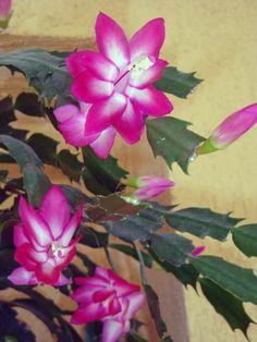 As flores de maio crescem e se desenvolvem de forma… Purple Succulents, Cacti And Succulents, Planting Succulents, Terrarium Plants, Garden Plants, House Plants, Christmas Cactus Plant, Succulent Bouquet, Dendrobium Orchids