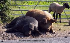 New Forest National Park pigs enjoying the summer sun - they're very good at relaxing!