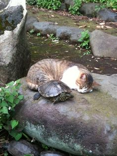 turtle and cat on rock, uncredited