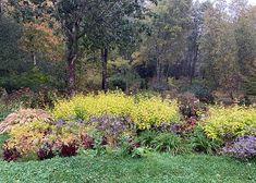 GardenLady.com | I Love Salvia Elegans 'Golden Delicious'