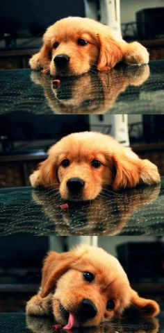 golden retriever pup sneaking a snack Animals And Pets, Baby Animals, Funny Animals, Cute Animals, Cute Puppies, Cute Dogs, Dogs And Puppies, Doggies, Corgi Puppies