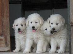 Maremmano pups