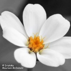 Delicate in White  By Maureen McDonald