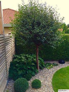 buxbom,hosta,hasselört,klotkörsbärsträd