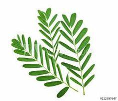 tamarindus – Vyhledávání Google Plant Leaves, Illustrations, Google, Plants, Illustration, Plant, Planets, Illustrators