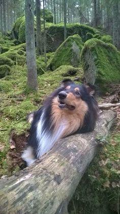 Amorwood's Joy n'Special: 1v. Sammaloituneessa taikametsässä Rough Collie Puppy, Collie Puppies, Joy, Animals, Animales, Border Collie Pups, Animaux, Glee, Animal