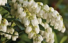 Finally, a more heat-tolerant and less-finicky Pieris japonica! If you've tried growing Pieris in your landscape or gardens in the past without much luck, Mountain Snow™, from the Southern Living Plant Collection, is here to change that! Evergreen Shrubs, Flowering Shrubs, Plant Design, Garden Design, Spring Blooms, Spring Flowers, Pieris Japonica, Buy Plants Online, Snow Mountain