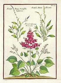 Acetosa annua Ocimifolia, Africana MUZ227 SOLD Munting Antique Prints of Aloe 1681
