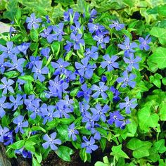 Periwinkle, especially Vinca Minor, is an evergreen ground cover that thrives in the shade, requires little to no maintenance and is Deer resistant. This would be a perfect bank cover behind our house, also maybe w/ another flower potted on our front po Garden Shrubs, Shade Garden, Garden Plants, Buy Plants, Flowers Garden, Flower Pots, Periwinkle Plant, Periwinkle Blue, Garden Paths