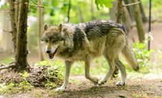 North America's Rarest Wolves Are Deemed Endangered...ish -Earth and Environmental Science, Biology