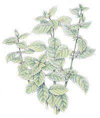 "Health Benefits of fragrant Lemon Balm in this week's farm boxes. TLC Family ""Lemon Balm: Herbal Remedies"""