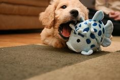 puppy with a toy.♡