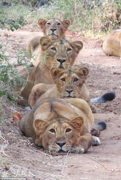 lion and her cubs pose for a family purr-trait Photographer Ahir Deepak Vadher captured the playful group at the Junagadh Gir Forest, in .Photographer Ahir Deepak Vadher captured the playful group at the Junagadh Gir Forest, in . Big Cats, Cats And Kittens, Cute Cats, Nature Animals, Animals And Pets, Beautiful Cats, Animals Beautiful, Beautiful Friend, Cute Baby Animals