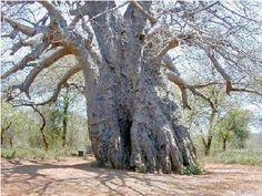 "Boabab tree...African ""upside down"" tree..."