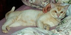 burmese cats cream