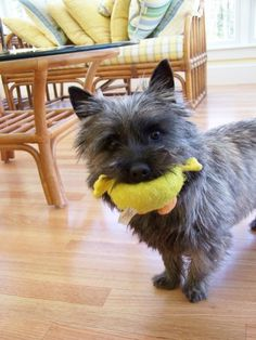 meet connor a cute cairn terrier puppy for sale for 650 akc cairn terrier male multiple ch. Black Bedroom Furniture Sets. Home Design Ideas