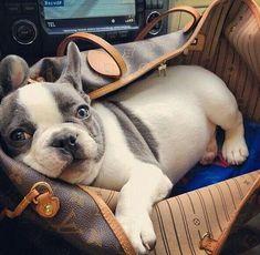 French Bulldog puppy ♡