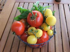 summer tomatoes growing in the garden