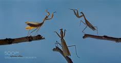 Peygamber devesi - Mantis religiosa by aatac