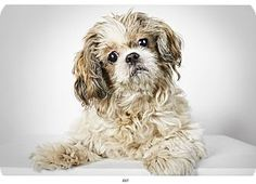 Dot is a senior Shih Tzu bursting with personality and is up for adoption at the Humane Society of New York.
