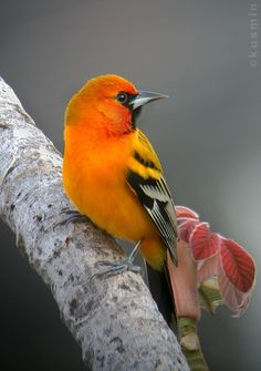streak-backed oriole (icterus pustulatus) Lovely    margiekugler.com  be inspired