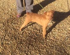 Molly  2 year old female Patterdale Terrier cross Irish Terrier #cutedogs #cute #dogs #dog #pets #babblepets