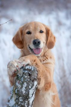 Golden in the Snow
