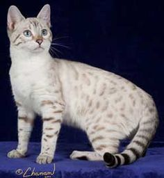 Also this: which is called a snow bengal - his tail is very similar to ...