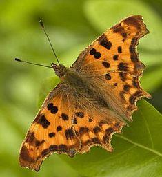 Soorten vlinders in de tuin met foto en beschrijving vlinder planten kiezen / Gehakkelde aurelia