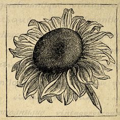Sunflower Graphic Printable Image Flower Digital Antique Download Vintage Clip Art for Transfers etc HQ 300dpi No.115