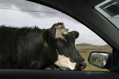 This made me laugh, where in Ireland cows give directions and speed limits  seem like dares!