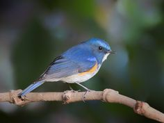 Himalayan Bluetail (Himalayan Red-flanked Bush-robin)