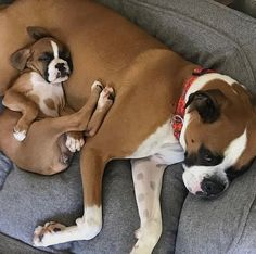 Visit our internet site for additional details on Boxer Dogs. It is an excellent… More information about boxer dogs can be found on our website. It is an excellent place to learn more. Boxer Puppies, Cute Puppies, Cute Dogs, Dogs And Puppies, Doggies, Awesome Dogs, Baby Animals, Funny Animals, Cute Animals