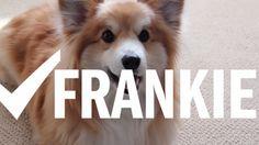 コーギーのフランキーは捜索上手〜大好きなオモチャをすぐに見つけちゃう偉いワンコの動画だよ | the WOOF