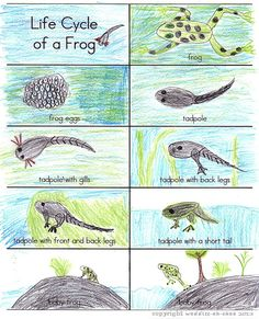 Life Cycle of a Frog FREE printable cards