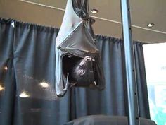 Camilla a Malayan flying fox (the largest bat species in the world)…