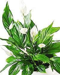 Vitorlavirág (Spathiphyllum)